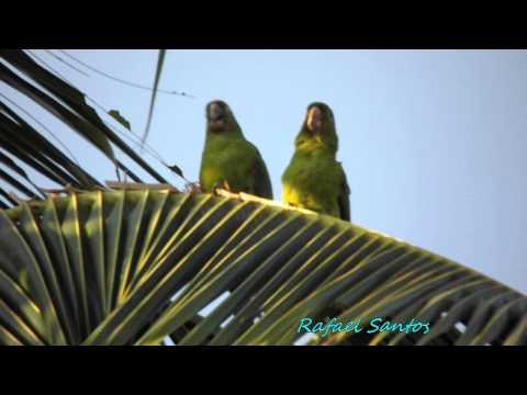 Maritacas - http://foco3.blogspot.com.br/ 1 casal de papagaios no coqueiro de casa e ! casal de maritaca do outro lado da rua na rede elétrica.