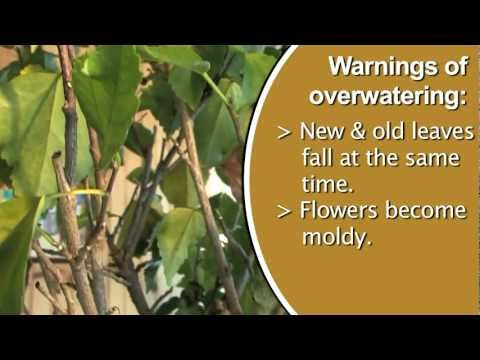 Signs of Over Watering Plants