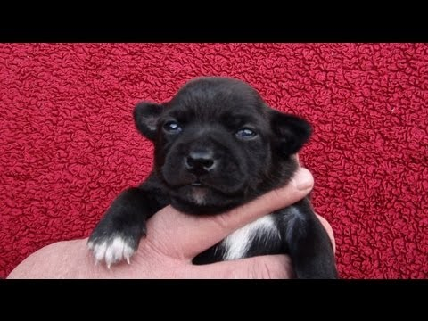 2 Week old Chihuahua Puppies Eyes Just Opened