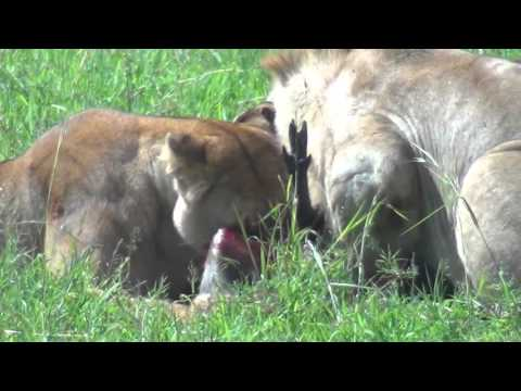 Video Lions Hunt Warthog in Maasai Mara 2015 download in MP3, 3GP, MP4, WEBM, AVI, FLV January 2017