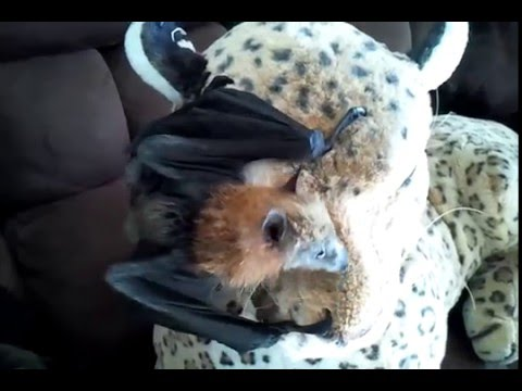 Baby Bat Hanging On His Stuffed Toy Like A Jungle Gym. :)