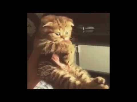 Tämä kissa ei hevin luovu nappaamastaan lihapalasta