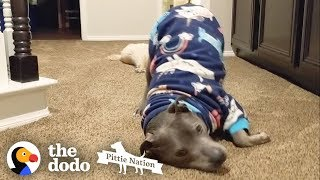 This Pittie's the Cutest, Biggest Baby Ever | The Dodo Pittie Nation by The Dodo