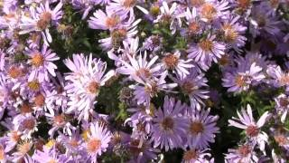 New England Asters(5/10)