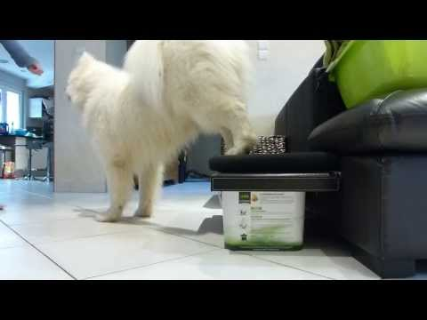 Amazing dog tricks  ~ Samoyede ♥