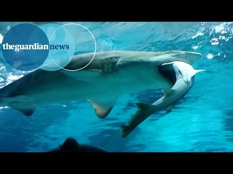 Big Shark Tries To Eat Little Shark At South Korean