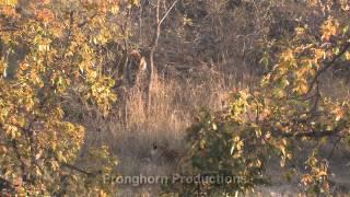 Bandhavgarh India  city images : 4K of Nature and Wildlife at Bandhavgarh National Park in India