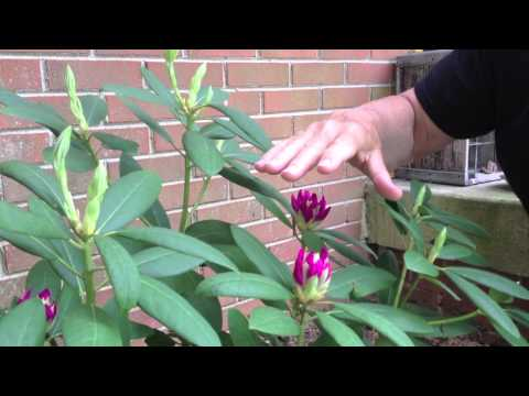 Rhododendron: Care & Pruning