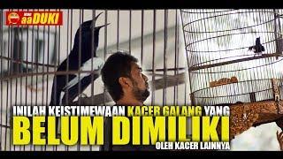 Video INILAH!! Keistimewaan Kacer GALANG Yang BELUM DIMILIKI Kacer Lainnya MP3, 3GP, MP4, WEBM, AVI, FLV Maret 2019