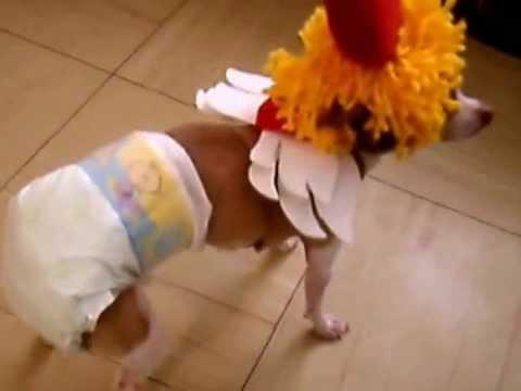 FUNNY DOG !!!!  CUTE CHIHUAHUA!!!!