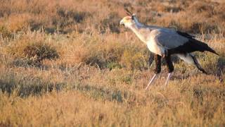 Secretarybird looking for food