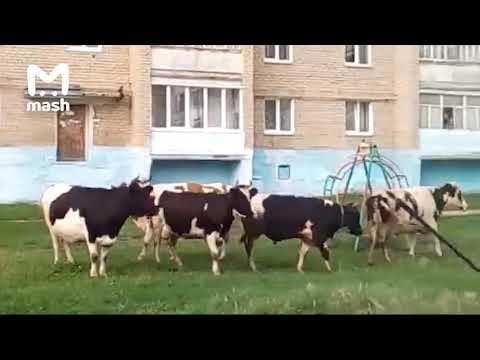 Стадо коров атаковало жилой двор в Челябинской области
