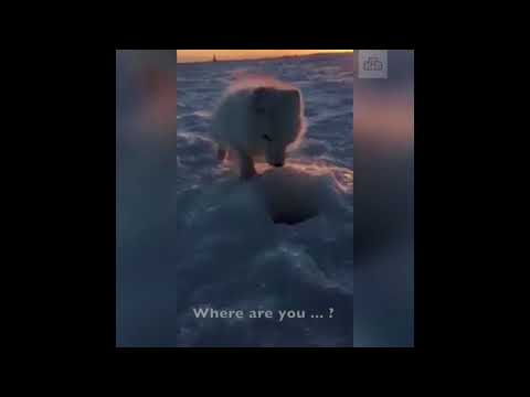 Arctic fox begs man for fish
