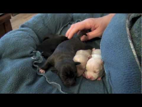Little Chihuahua Puppies 6 Days Old – For Sale
