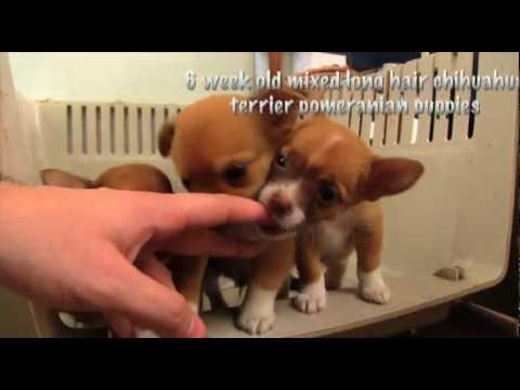 six week old mixed long hair chihuahua terrier pomeranian puppies