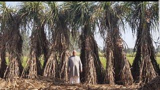 कृषक श्री बदनसिंह के प्लाट से ट्रेंच विधि की गन्ने की खेती सीखें