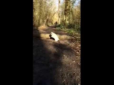Pug misses the jump [0:27]