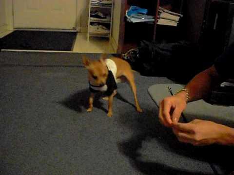 Chihuahua Charlee Boy