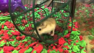 Hamster on wheel slow motion- chariots of fire. I learned something watching this. Hamsters run like they walk, left/right with front and back feet. I thought they would use paired front/back similar to how a rabbit runs.