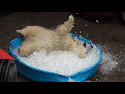 Miś kąpie się w lodzie