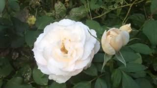Rose en plusieurs langues: frikaans: Roos العربية: ورد ܐܪܡܝܐ: ܘܪܕܐ Avañe'ẽ: Yvotyje azərbaycanca: İtburnu Bahasa Indonesia: Mawar Bahasa Melayu: Bunga ...