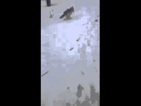 Man Runs Off Coyote Attacking Deer
