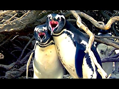 Ozzy Man Commentates on Homewrecker Penguin
