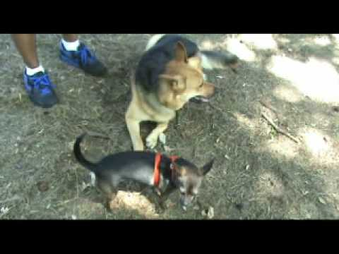 Fear Aggressive Chihuahua – Before and After – NYC Dog Training – DCTK9