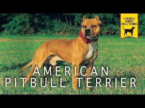 american pitbull
