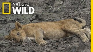 Lion Cubs Affected By Mysterious, Paralyzing Disease | Nat Geo Wild by Nat Geo WILD