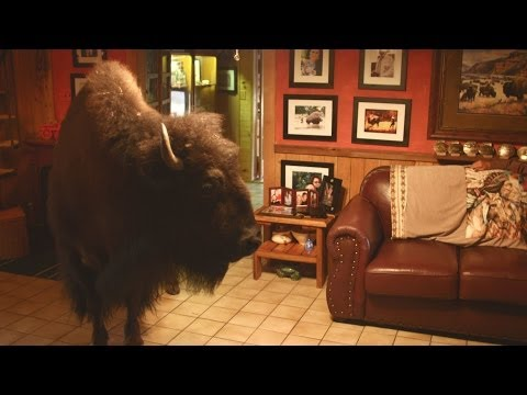 Buffalo - More about this programme: http://www.bbc.co.uk/programmes/b03k3hf1 Liz Bonnin tries to avoid an adult Buffalo that follows her into a house.