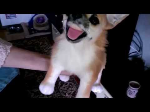 A dog gets cloned. The reaction of a Chihuahua as he sees himself is hilarious! Cuddleclones