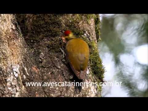 Pica-pau-dourado - Cristiano Voitina