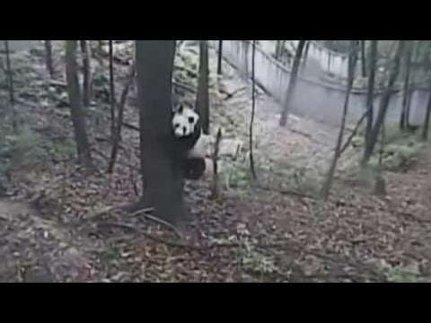 Terrified pandas panic as earthquake hits China: CCTV