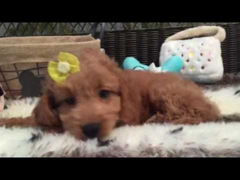 A must see! Precious Mini Goldendoodle puppy