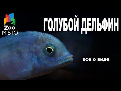 Голубой Дельфин - Все о виде рыбок