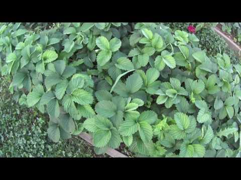 почему на клубнике листья с коричневыми пятнами