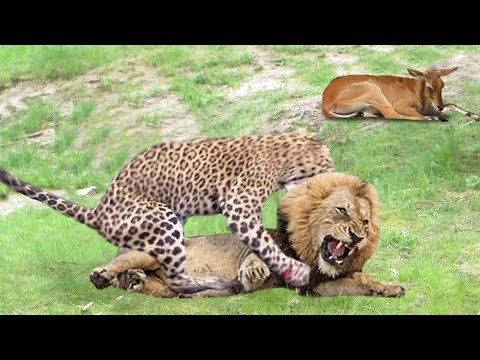 True King of Jungle! Lion Save Baby Grant's Gazelle From Five Cheetah Hunting   Snow Goose vs Fox