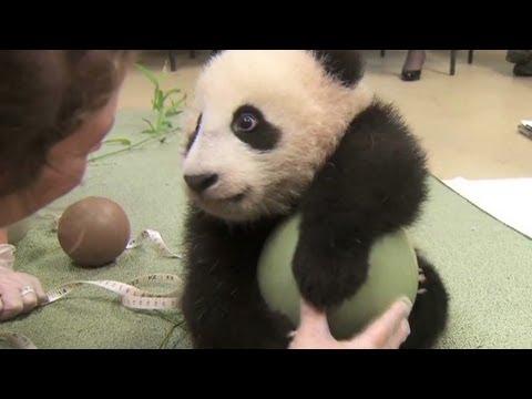 Панда, която обожава топка