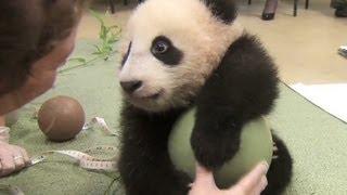 Video Distraction: Baby panda loves ball MP3, 3GP, MP4, WEBM, AVI, FLV Mei 2017
