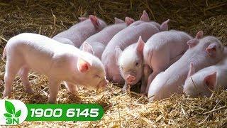 Chăn nuôi lợn | Lợn con mới đẻ: Chăm sóc không tốt, hậu quả khó lường