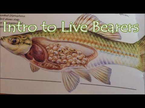 Intro to Live Bearers (my favorite fish)