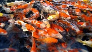 Video Fish Selection | Choosing Young Koi Fish for Your Pond - Part 1 MP3, 3GP, MP4, WEBM, AVI, FLV Oktober 2018