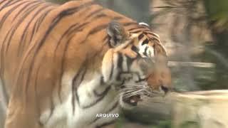 Tigre-de- Bengala morre aos 19 anos no Zoo de Bauru