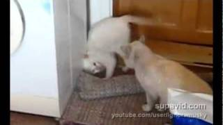 Kocia capoeira