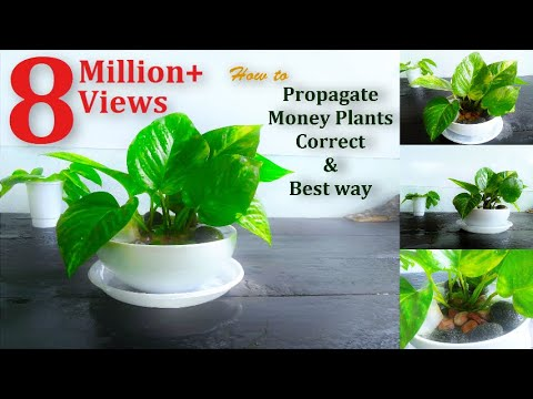 How to Propagate Money Plants | Correct & Best way | Propagating Pothos from Cuttings //GREEN PLANTS