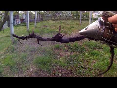 Natural Treatment for Grape Vine Fungus
