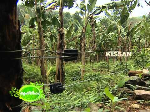 Large scale banana cultivation undertaken by a young farmer in a large leased lands.