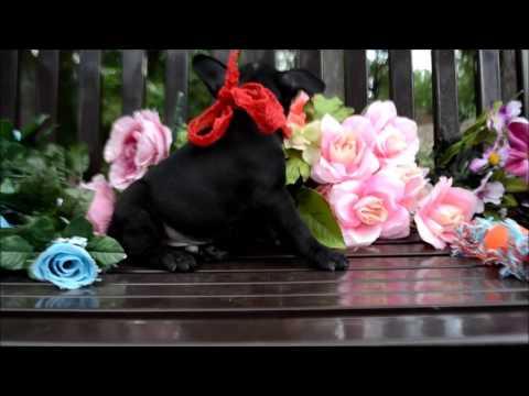 Pepper AKC Black French Bulldog Puppy, atat, Dd