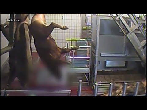 Tierschutz: Forderung nach verpflichtender Videoüberwachung auf Schlachthöfen